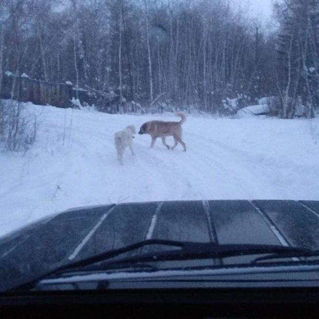 В Якутске на подростка напали собаки